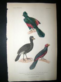 Cuvier C1835 Antique Hand Col Bird Print. The Touraco, The Hocco, The Plantain Eater, 52